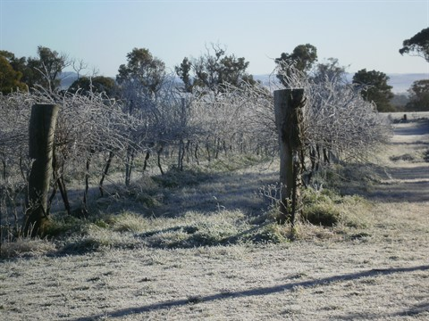 Frost-on-vineyard-004.jpg