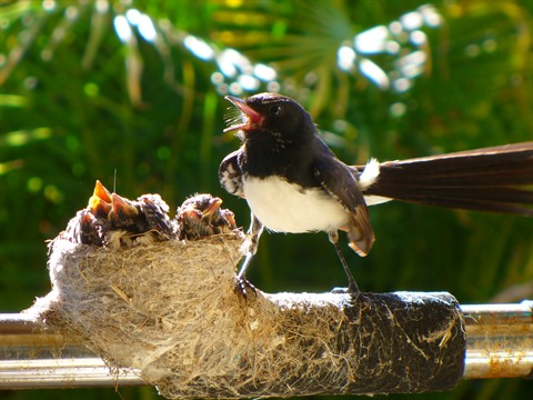 Willy_Wagtail_nest.jpg